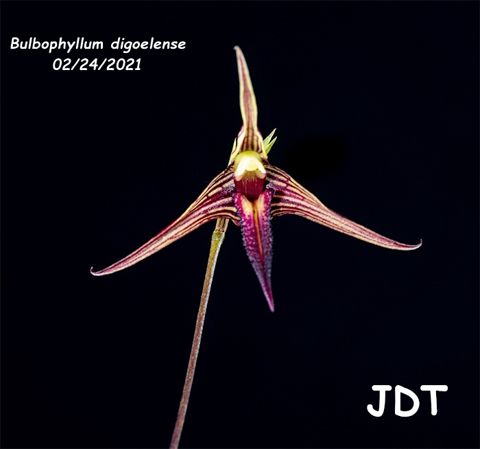 Name:  Bulbophyllum digoelense3 02242021.jpg