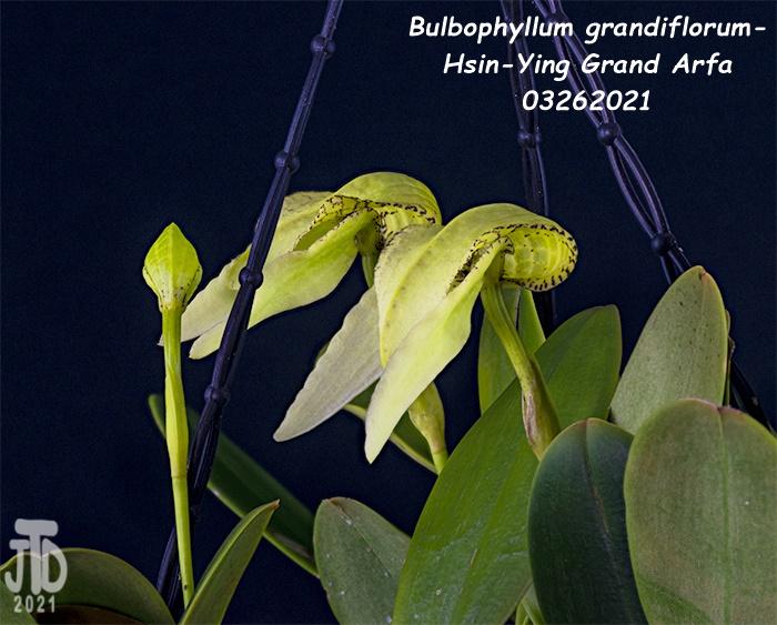 Name:  Bulbophyllum grandiflorum-Hsin-Ying Grand Arfa4 03262021.jpg Views: 38 Size:  158.8 KB