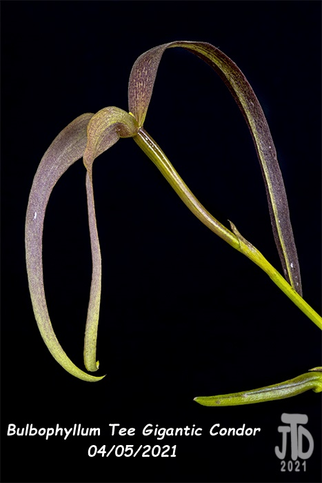 Name:  Bulbophyllum Tee Gigantic Condor5 04052021.jpg