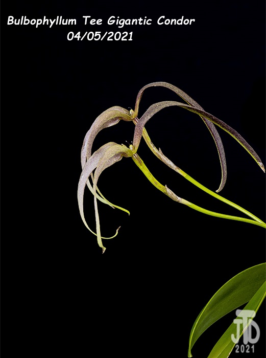 Name:  Bulbophyllum Tee Gigantic Condor4 04052021.jpg