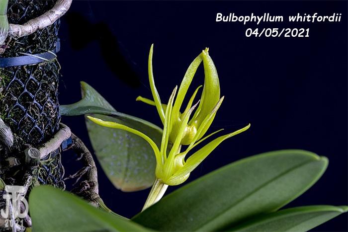 Name:  Bulbophyllum whitfordii4 04052021.jpg Views: 35 Size:  127.2 KB