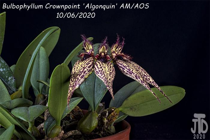 Name:  Bulbophyllum Crownpoint 'Algonquin' AM-AOS2 10062020.jpg Views: 32 Size:  169.8 KB