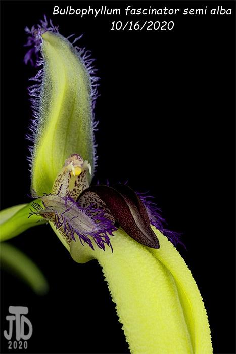 Name:  Bulbophyllum fascinator semi alba1 10162020.jpg Views: 38 Size:  94.1 KB