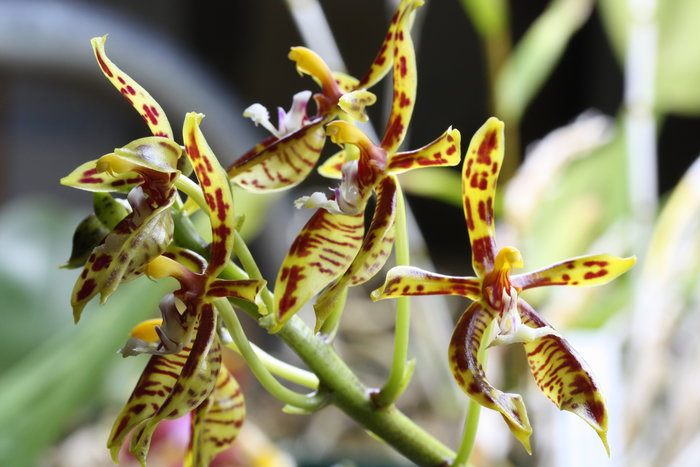 Name:  Phal mannii.jpg