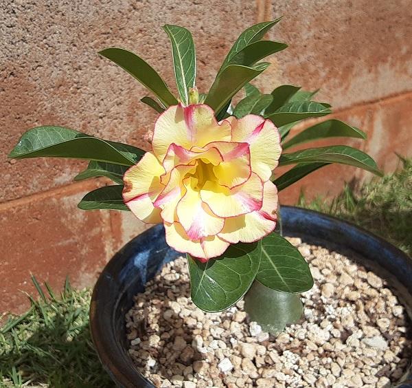 Name:  Desert_Rose_Pinapple_Rose_crop6x6.jpg Views: 12 Size:  179.7 KB