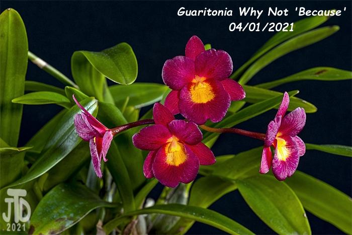 Name:  Guaritonia Why Not 'Because'5 03312021.jpg Views: 50 Size:  296.5 KB
