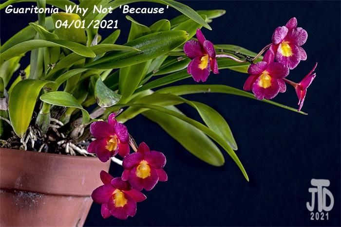 Name:  Guaritonia Why Not 'Because'2 03312021.jpg Views: 51 Size:  167.6 KB