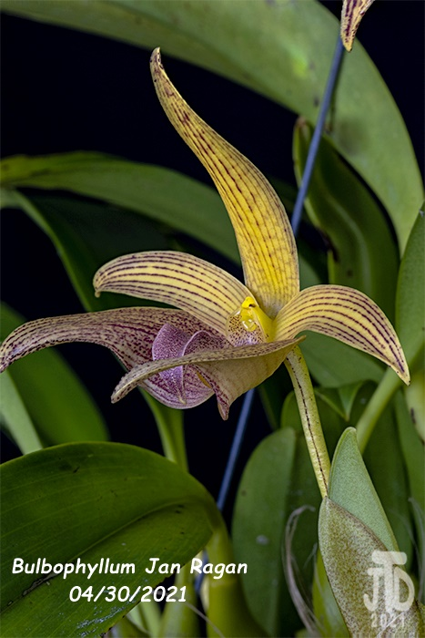 Name:  Bulbophyllum Jan Ragan (lobbii 'Kathy's Gold' AM-AOS X B. facetum 'Wright'}1 04302021.jpg