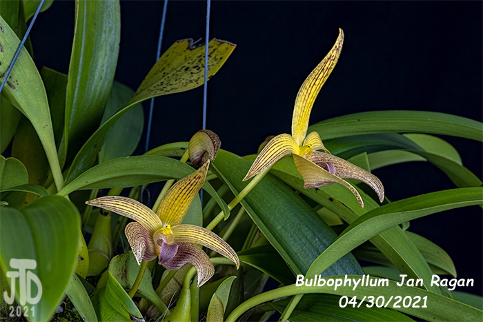 Name:  Bulbophyllum Jan Ragan (lobbii 'Kathy's Gold' AM-AOS X B. facetum 'Wright'}2 04302021.jpg