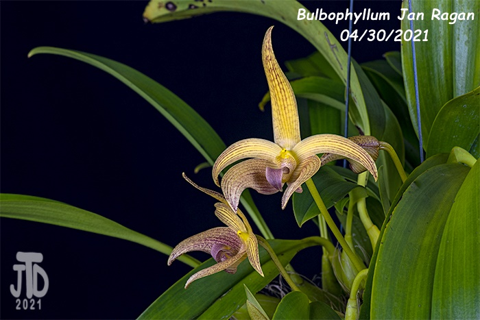 Name:  Bulbophyllum Jan Ragan (lobbii 'Kathy's Gold' AM-AOS X B. facetum 'Wright'}4 04302021.jpg