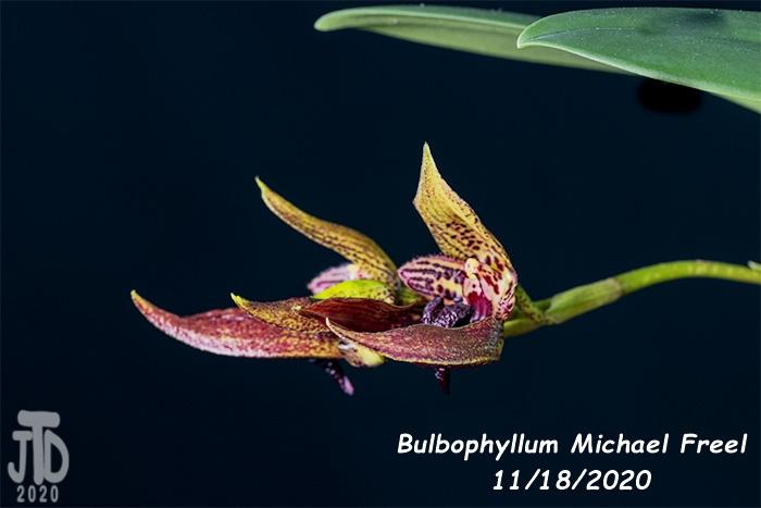 Name:  Bulbophyllum Michael Freel2 11182020.jpg Views: 57 Size:  91.2 KB