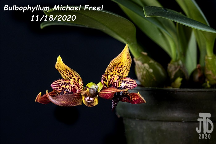 Name:  Bulbophyllum Michael Freel3 11182020.jpg Views: 57 Size:  102.2 KB