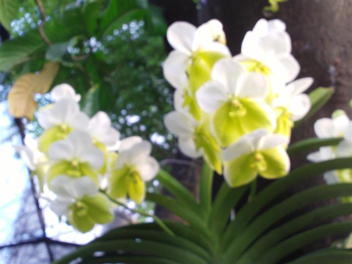 Name:  Vanda Sanderana Alba 1 (Custom).JPG Views: 4985 Size:  60.4 KB