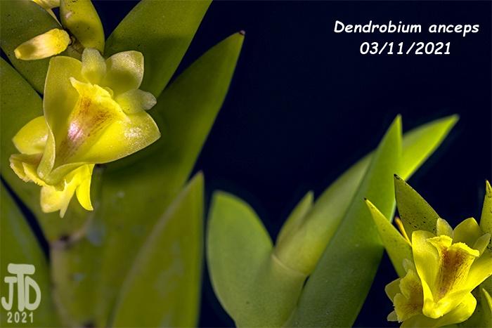 Name:  Dendrobium anceps1 03112021.jpg Views: 42 Size:  100.4 KB
