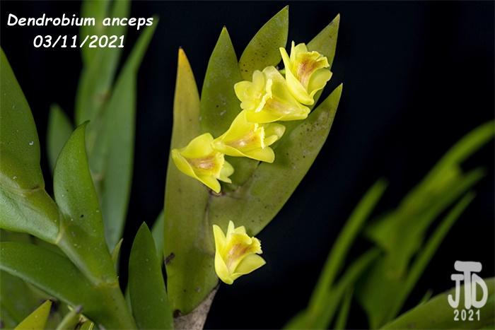 Name:  Dendrobium anceps2 03112021.jpg Views: 39 Size:  93.0 KB