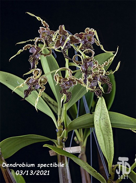 Name:  Dendrobium spectibile4 03132021.jpg Views: 49 Size:  168.6 KB