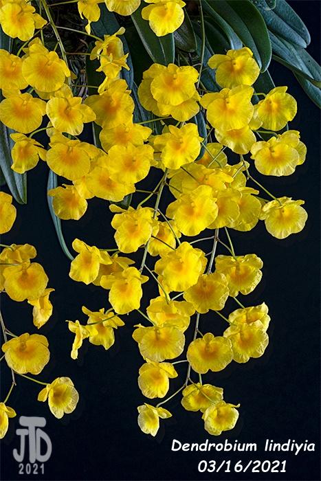 Name:  Dendrobium lindiyia2 03152021.jpg Views: 69 Size:  192.4 KB