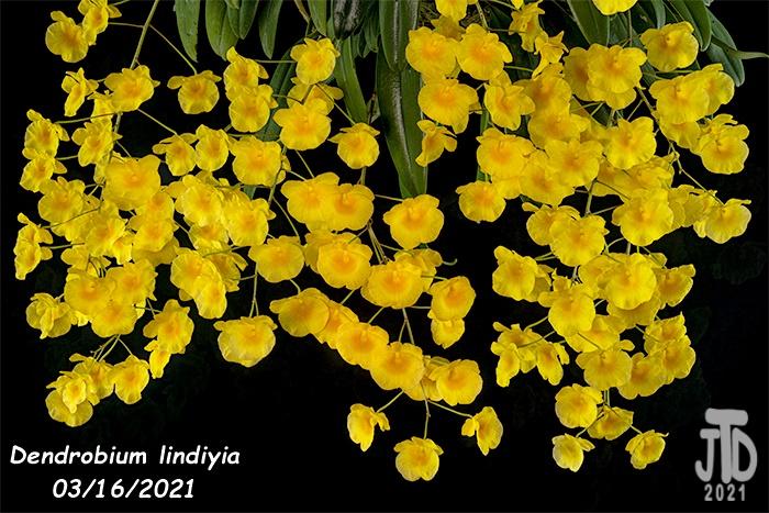 Name:  Dendrobium lindiyia3 03152021.jpg Views: 69 Size:  210.3 KB