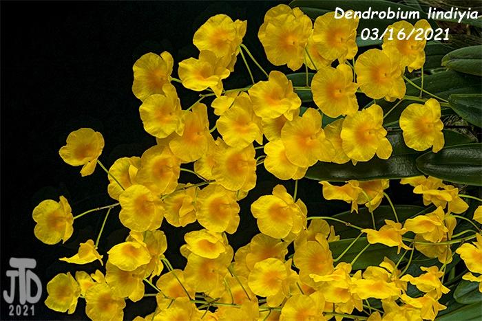 Name:  Dendrobium lindiyia4 03152021.jpg Views: 66 Size:  191.3 KB