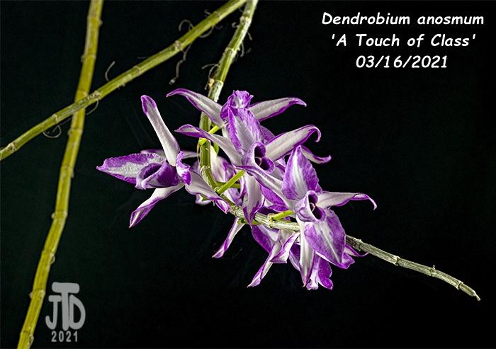 Name:  Dendrobium anosmum 'A Touch of Class'2 03162021.jpg Views: 78 Size:  138.6 KB