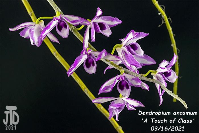 Name:  Dendrobium anosmum 'A Touch of Class'3 03162021.jpg Views: 78 Size:  144.2 KB