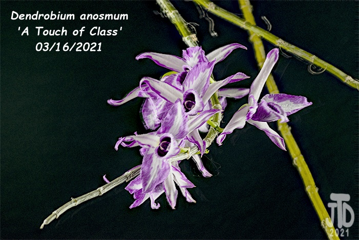 Name:  Dendrobium anosmum 'A Touch of Class'4 03162021.jpg Views: 77 Size:  166.1 KB