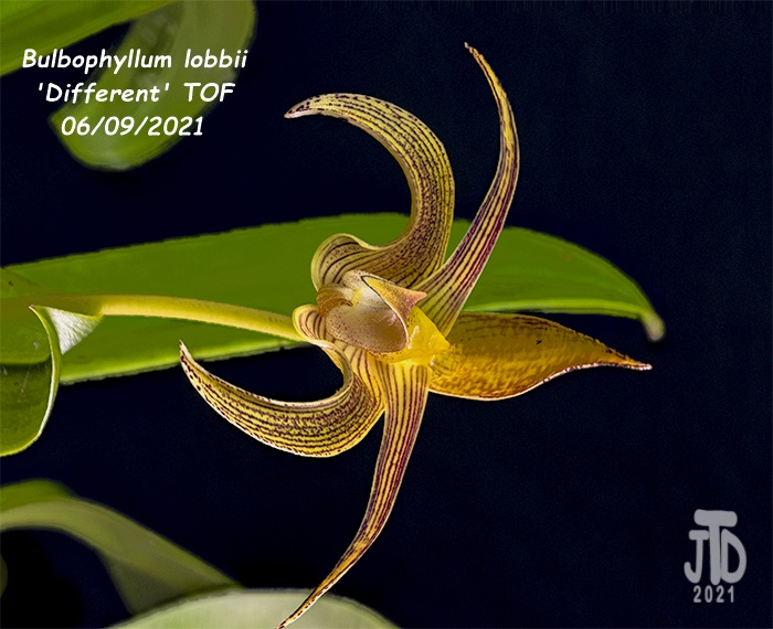 Name:  Bulbophyllum lobbii 'Different' TOF1 06092021.jpg Views: 38 Size:  141.0 KB