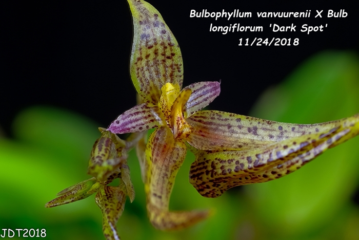 Name:  Bulbophyllum vanvuurenii X Bulb longiflorum 'Dark Spot'3 11242018.jpg Views: 244 Size:  218.4 KB
