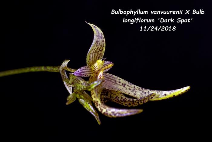 Name:  Bulbophyllum vanvuurenii X Bulb longiflorum 'Dark Spot'2 11242018.jpg Views: 145 Size:  142.0 KB