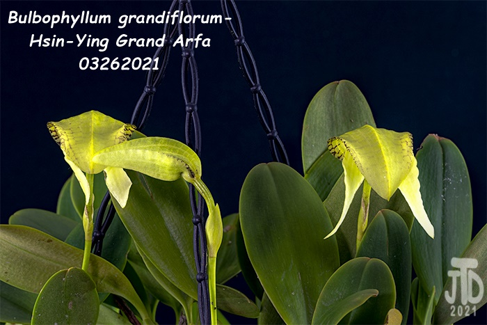 Name:  Bulbophyllum grandiflorum-Hsin-Ying Grand Arfa3 03262021.jpg Views: 49 Size:  127.3 KB