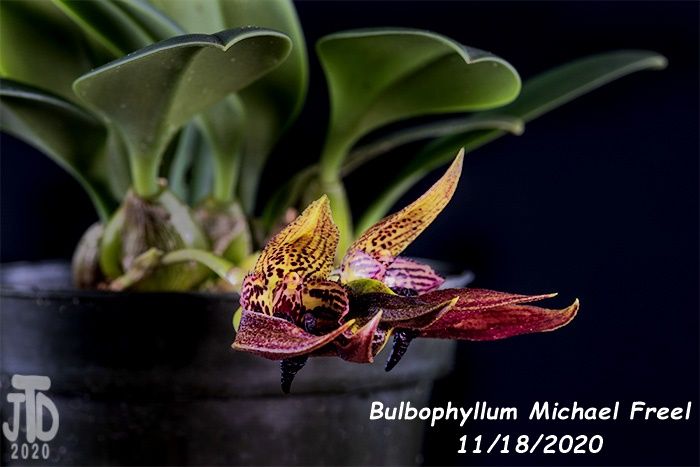 Name:  Bulbophyllum Michael Freel4 11182020.jpg Views: 56 Size:  97.3 KB