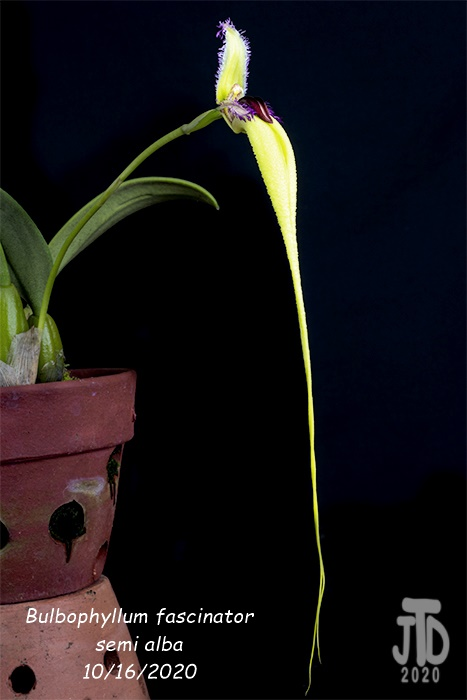 Name:  Bulbophyllum fascinator semi alba4 10162020.jpg
