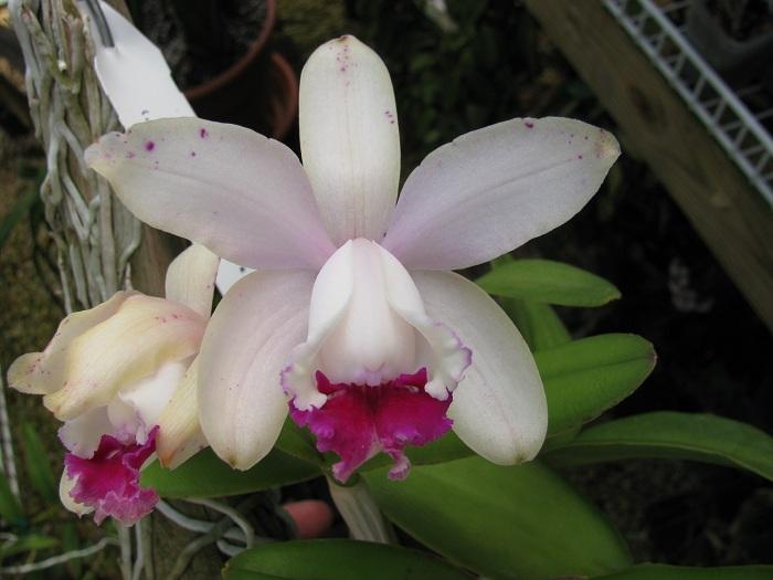 Name:  C. intermedia var. Orlata 1.JPG Views: 380 Size:  101.1 KB