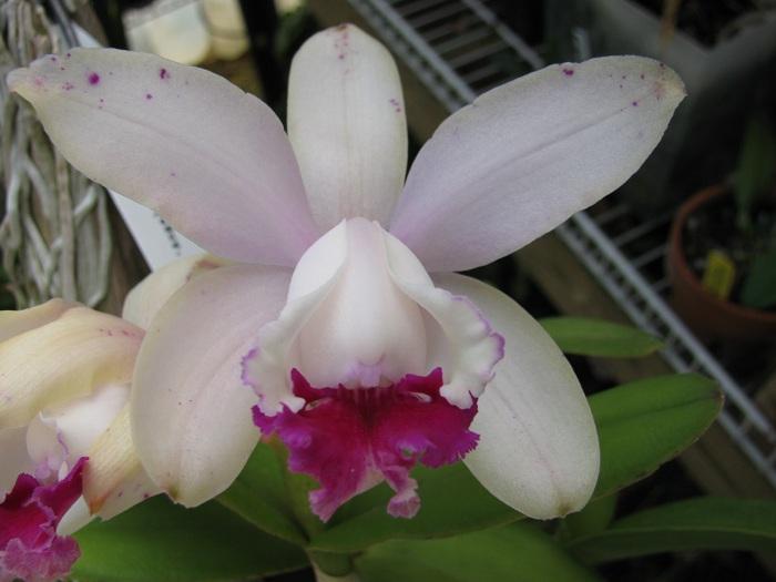 Name:  C. intermedia var. Orlata 2.JPG Views: 233 Size:  92.9 KB