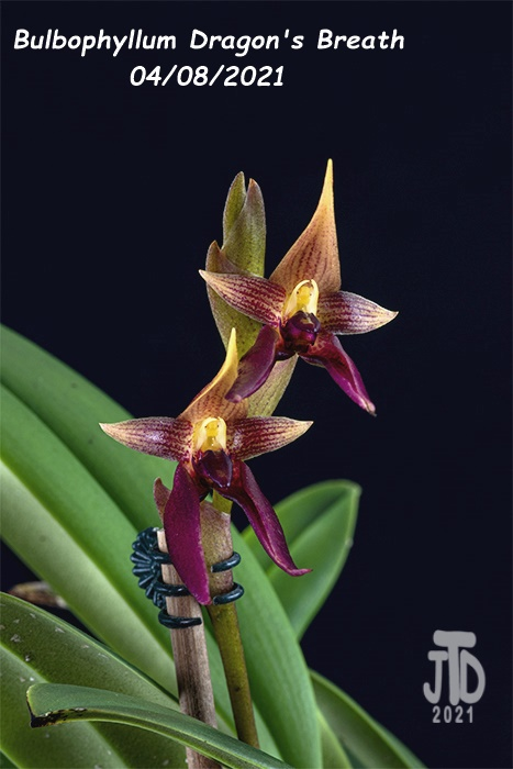 Name:  Bulbophyllum Dragon's Breath5 04082021.jpg Views: 53 Size:  104.7 KB