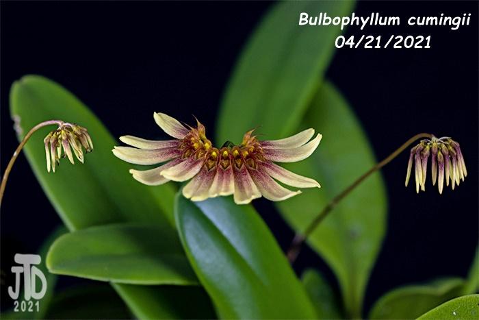 Name:  Bulbophyllum cumingii3 04212021.jpg Views: 34 Size:  97.1 KB