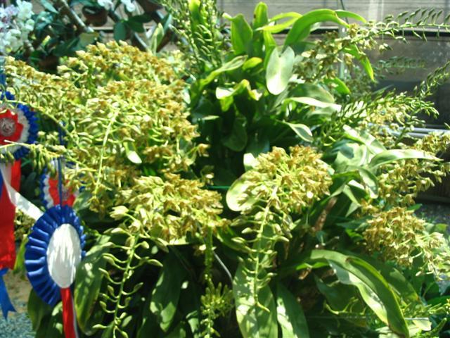 Name:  Grammatophyllum Scriptum1 (Small).jpg Views: 6950 Size:  87.5 KB
