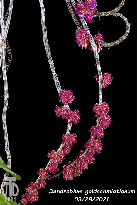 Name:  Dendrobium goldschmidtianum3 03282021.jpg Views: 80 Size:  118.1 KB
