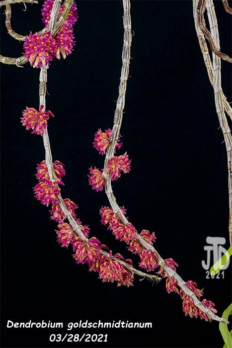 Name:  Dendrobium goldschmidtianum4 03282021.jpg Views: 80 Size:  129.0 KB