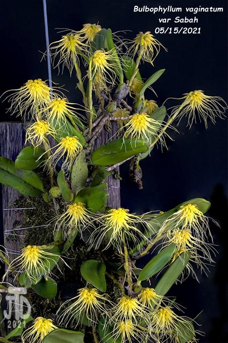 Name:  Bulbophyllum vaginatum var Sabah4 05152021.jpg Views: 56 Size:  203.9 KB