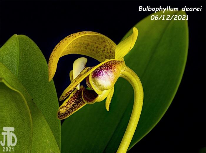 Name:  Bulbophyllum dearei1 06122021.jpg Views: 61 Size:  163.8 KB