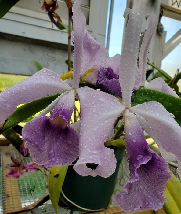 Name:  Blc Lois McNeil 'Acer' x L purpurata var.jpg Views: 84 Size:  355.7 KB