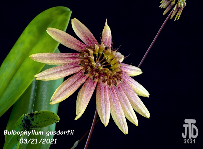 Name:  Bulbophyllum gusdorfii1 03212021.jpg