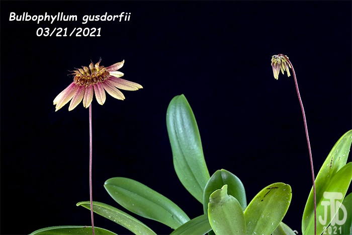 Name:  Bulbophyllum gusdorfii3 03212021.jpg