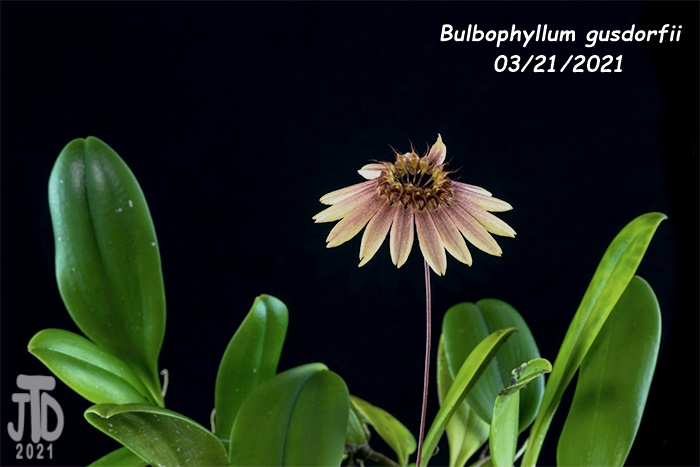 Name:  Bulbophyllum gusdorfii4 03212021.jpg