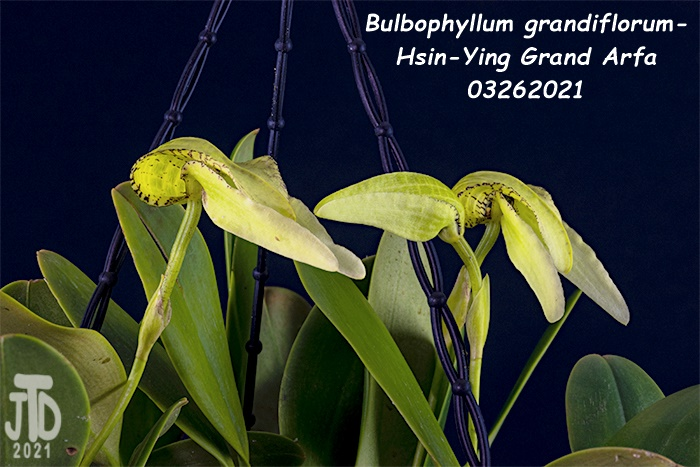 Name:  Bulbophyllum grandiflorum-Hsin-Ying Grand Arfa2 03262021.jpg Views: 45 Size:  151.7 KB
