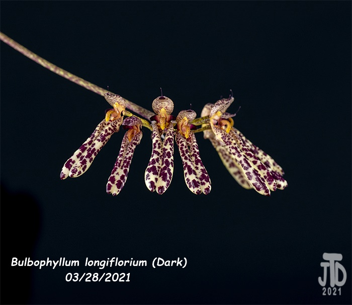 Name:  Bulbophyllum longiflorium (Dark)4 03282021.jpg Views: 45 Size:  114.3 KB