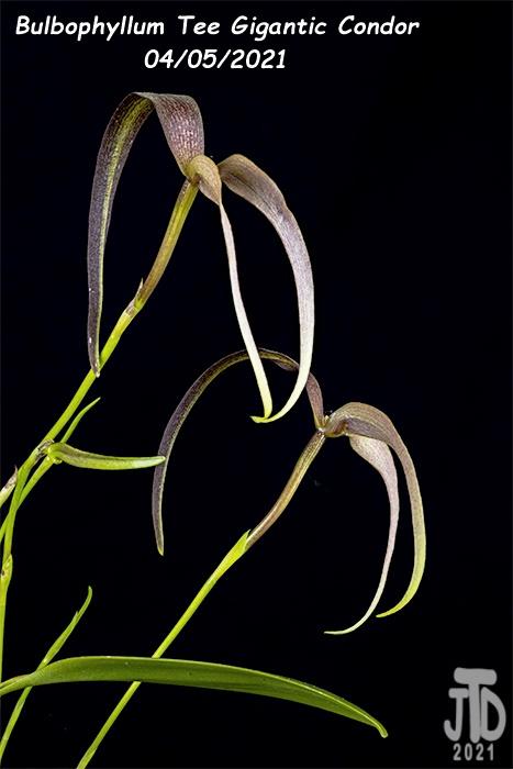 Name:  Bulbophyllum Tee Gigantic Condor2 04052021.jpg Views: 49 Size:  82.7 KB