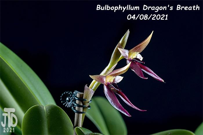 Name:  Bulbophyllum Dragon's Breath2 04082021.jpg Views: 51 Size:  131.3 KB