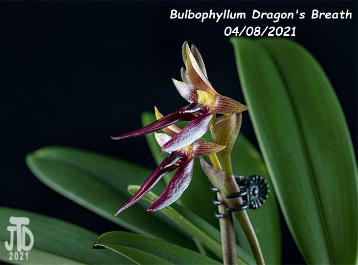 Name:  Bulbophyllum Dragon's Breath4 04082021.jpg Views: 50 Size:  131.5 KB